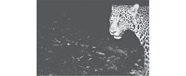 Fotografía obtenida con el sistema de cámaras trampa en colaboración en el Dr. Joe J. Figel. Área de Conservación Comunitaria Cerro Azul (sin certificar), Santa María Chimalapa. Foto: Elí García-Padilla