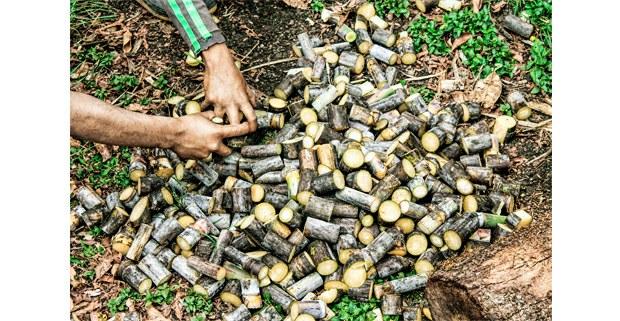 La repartición de la caña. Ocosingo, Chiapas. Foto: Mario Olarte
