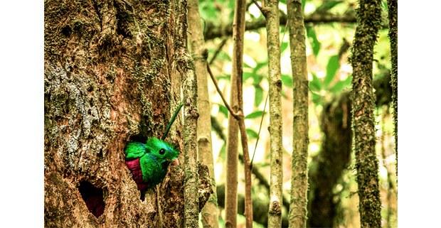 Quetzal resplandeciente. El Triunfo, Chiapas. Fotos: Elí García-Padilla