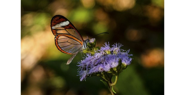 Mariposa alas de cristal, camino a La Gloria, Los Chimalapas. Foto: Elí García-Padilla